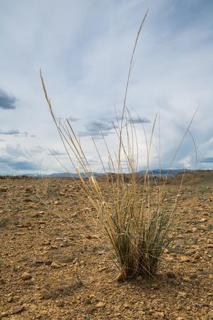 Een bos van groene gras op het droge. Ecologie en droogte