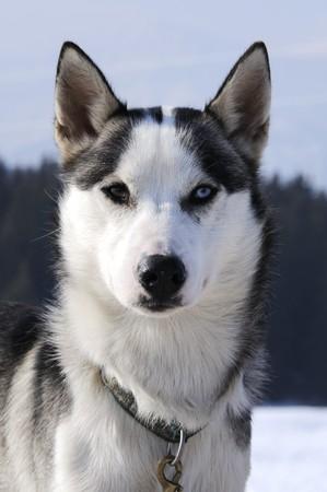 snows: Dog of snows