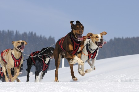 snows: Sporting dogs of snows Stock Photo