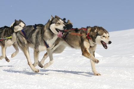 dog sled: husky race