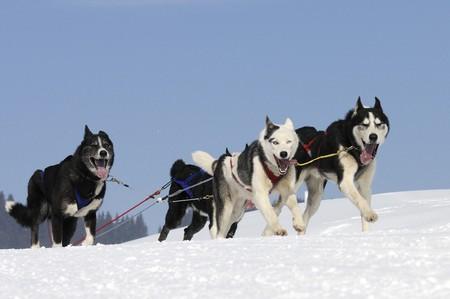 Husky race Stock Photo - 8306665