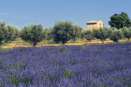 lavender field, Plateau de Valensole, Provence, France  photo