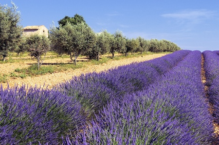lavender field, Valensole, Provence, France  photo