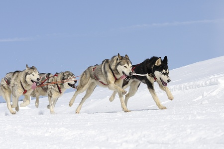 dog sled: Sportive dogs in the mountain