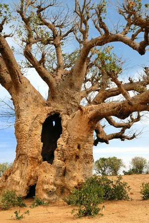 baobab in Africa, senegal  Stock Photo