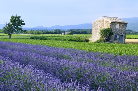 Lavender in the landscape Stock Photo - 9506762