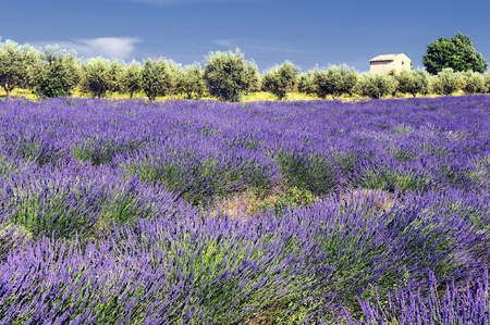 Lavender in the landscape photo