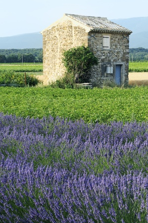 french countryside: lavender in the south french Stock Photo