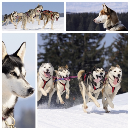 Sportive dogs are running in the snow, mountain in winter Stock Photo