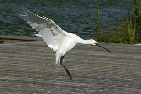 Nice landing white Geese in the landscape photo