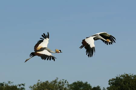 large bird: African Crowned Crane flying in the sky Stock Photo