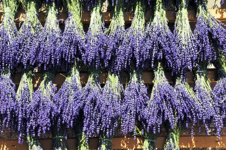 Bundles of sprigs of lavender hung to dry photo
