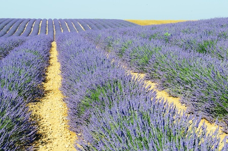 Image shows a rich lavender field in Provence, France, with a lone tree in the background  photo