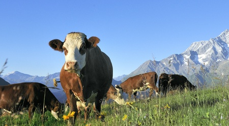 nostrils:   Cow, farm animal in the french alps, Tarine race cow, savy, beaufort sur Doron
