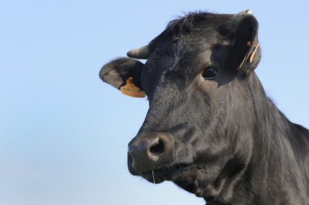 black angus:   Black Angus bull standing in an autumn field of sagebrush on the high plains Stock Photo