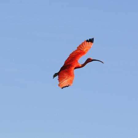 scarlet: Ibis bird Stock Photo