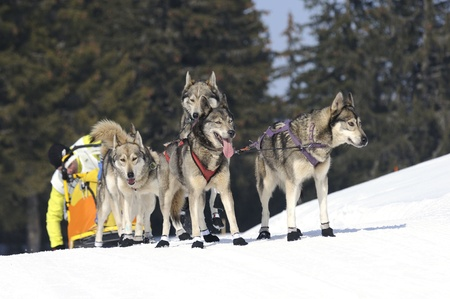 huskys: sportive dogs and musher in the snow