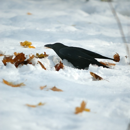 frugilegus: Rook on snow Corvus frugilegus. Rook in winter tim Stock Photo