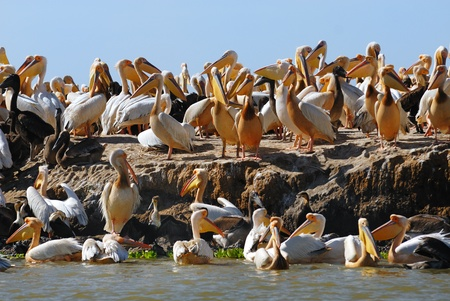 pelicans: Nursery island for pelican birds in the Djoudj park in Senegal