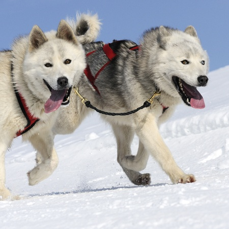 sportive dog team is running in the snow Stock Photo - 10416572