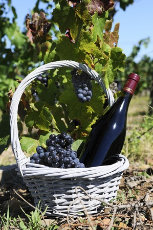 reasons: Bottle of red wine in a basket of reasons at the foot of a vine