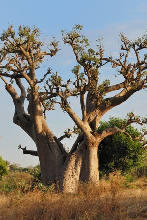 baobab in savannah, landscape of africa, senegal.