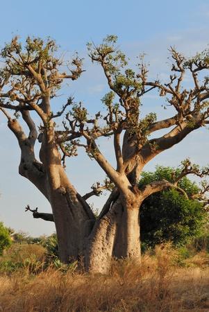 baobab in savannah, landscape of africa, senegal. photo