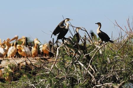 hoggish:  A cormoran colony, at the djoudj reserve, Senegal, Africa