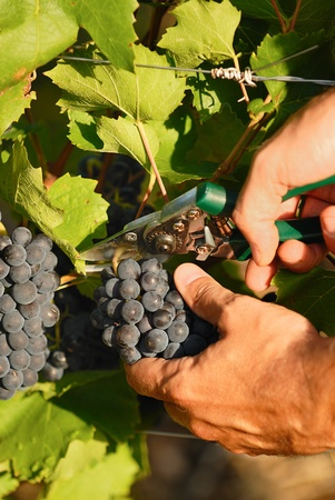 pruning shears: man hands harvesting grapes in french fields Stock Photo