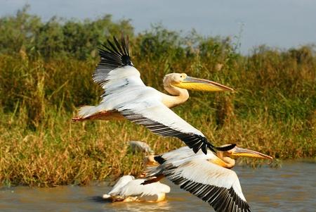 pelicans: A group of pelicans in Djoudj park, Senegal Stock Photo