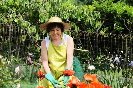 Senior woman pruning roses in her garden