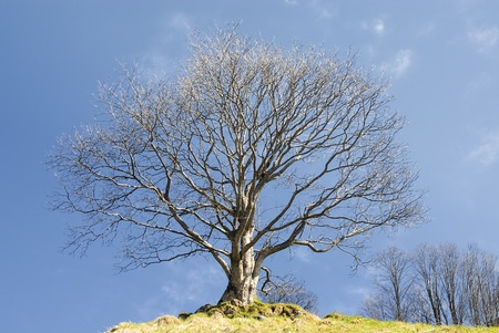 english oak: Oak tree in winter in a field with a hedgerow to one side, against a blue sky with clouds.