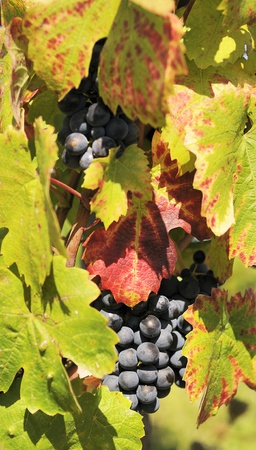 wineyard: mature grape-vine wait the harvesting in France