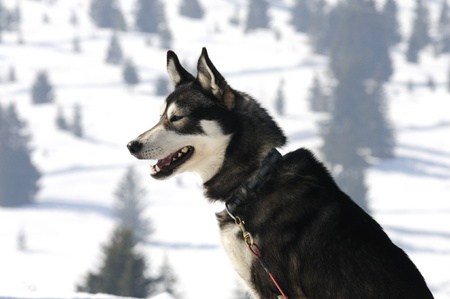 Nice nordic dog in the snow photo
