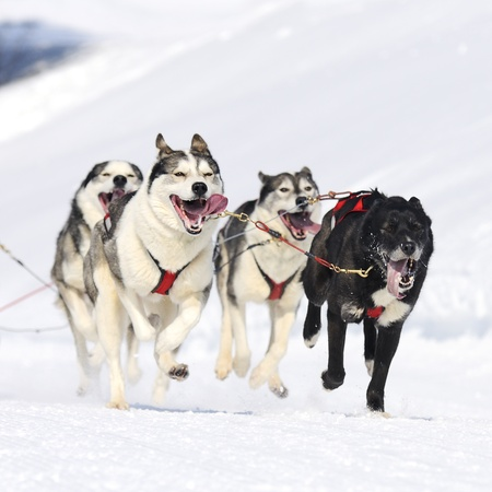 sled dogs: sportive dog team is running in the snow