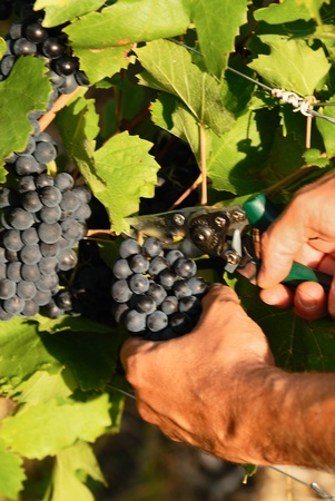 man hands harvesting grapes in french fields Stock Photo