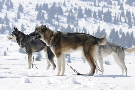 huskys: sportive dog team in the snow  Stock Photo