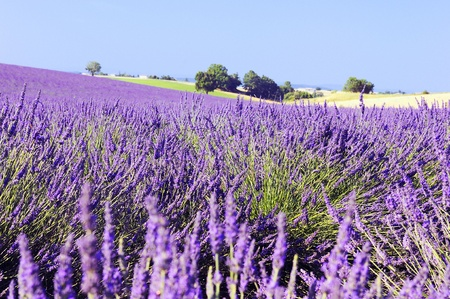 Image shows a lavender field in the region of Provence, southern France Stock Photo