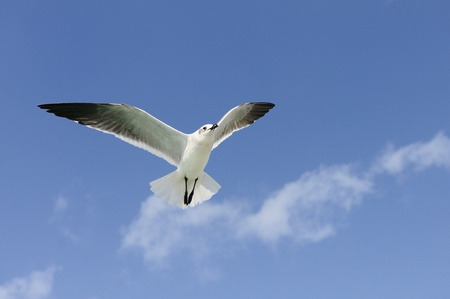 sea gull: A beautiful seagull ias flying in a blue sky Stock Photo