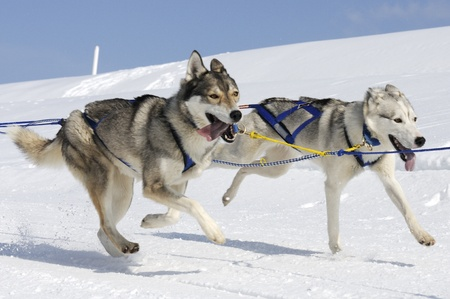 sled dog: Sportive dog team is running in the snow