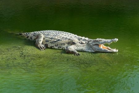 everglades: Alligator Mississipiensis wide open mouth