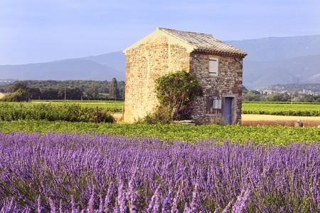 provence:  Image shows a lavender field in the region of Provence, southern France Stock Photo