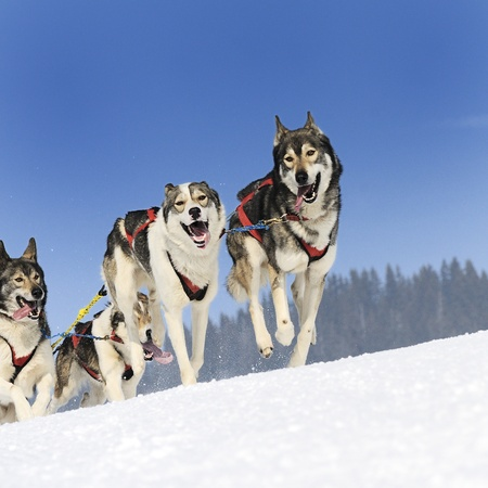 mushing: sportive dog team is running in the snow