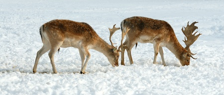 Reindeers in winter photo