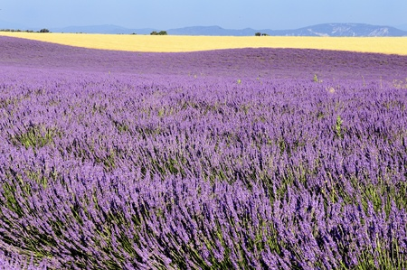 french countryside: mage shows a lavender field in the region of Provence, southern France