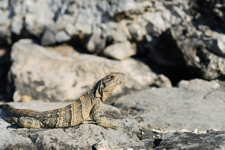 Wild iguana portrait on the rock under the sun  photo