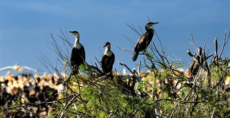 cormorants: Great Cormorants on a log