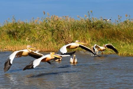 danube delta: a group of pelicans in the Djoudj reserve, Senegal