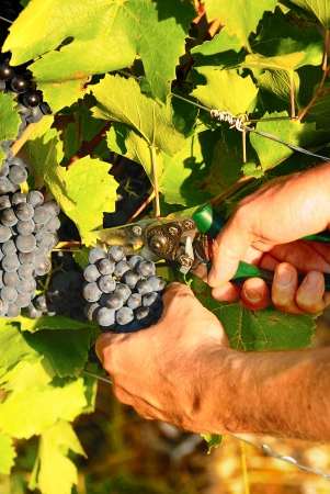 comestible: man hands harvesting grapes in french fields Stock Photo
