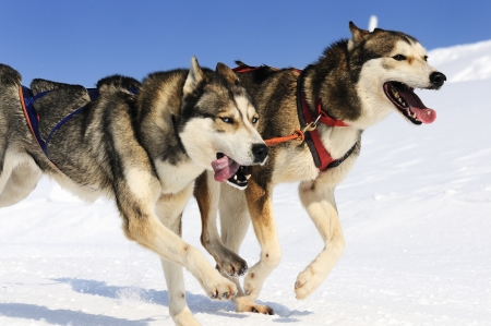 sled: sportive dog team is running in the snow